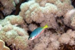 Goldband fusilier juv. (pterocaesio chrysozona) in the Red sea. Stock Photos