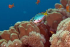 Goldband fusilier juv. (pterocaesio chrysozona) in the Red sea. Royalty Free Stock Photography