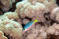 Goldband fusilier juv. (pterocaesio chrysozona) in the Red sea. Royalty Free Stock Photos