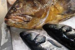 Goldblotch havsaborre (Epinepheluscostae) och europeisk seabass (Dicentrarchus labrax) arkivfoto