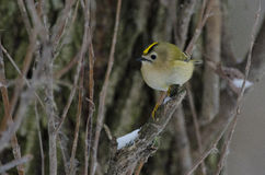 Goldcrest. On a tree in a winter day Stock Photos