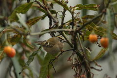 Goldcrest. Stock Photography