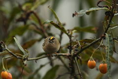Goldcrest. Royalty Free Stock Image