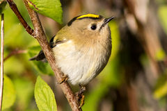 Goldcrest Foto de Stock