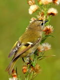 goldcrest Obrazy Stock
