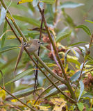 Goldcrest in autumnal vegetation Royalty Free Stock Photos