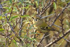 Goldcrest bird Regulus regulus foraging through branches of trees and bush. Closeup of a small Goldcrest bird Regulus regulus foraging through branches of trees stock photo