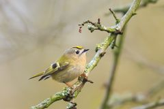 Goldcrest bird Regulus regulus foraging through branches of tr Royalty Free Stock Photo