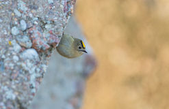Goldcrest bird on a rock Royalty Free Stock Photos