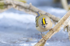 Goldcrest on a branch Stock Photography
