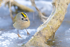 Goldcrest on a branch Stock Images