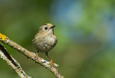 Goldcrest on the branch. Goldcrest sitting on the branch Stock Photos