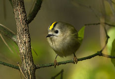 Goldcrest on the branch Royalty Free Stock Image