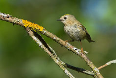 Goldcrest on the branch Stock Photos