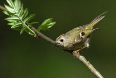 Goldcrest on the branch. Goldcrest sitting on the branch of mountain ash Stock Photos