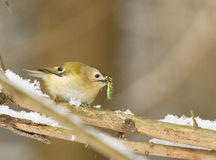 Goldcrest with caterpillar. On the branch Royalty Free Stock Image