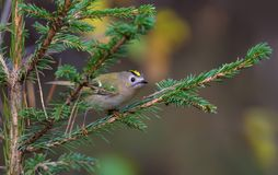 Goldcrest glance with interest from fir spiky twig royalty free stock images