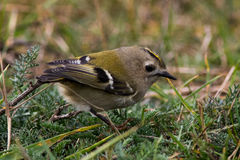 Goldcrest on the ground. Goldcrest Regulus regulus on autumn migration at Ottenby, Oland Island, Southern Sweden Stock Photography