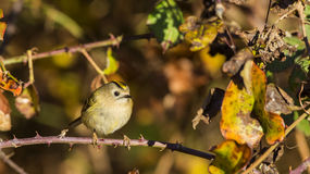 Free Goldcrest On Red Bush Royalty Free Stock Photography - 65048847