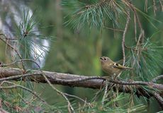 Goldcrest sits high in tree canopy of fir branches royalty free stock images