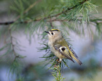 goldcrest regulus Obrazy Stock