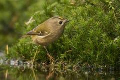 Goldcrest, Regulus regulus De kleinste zangvogel in Europa stock afbeelding