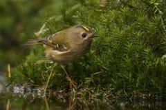 Goldcrest, Regulus regulus De kleinste zangvogel in Europa stock foto