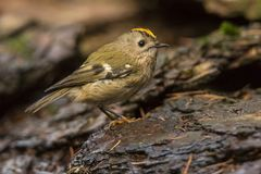 Goldcrest, Regulus regulus De kleinste zangvogel in Europa royalty-vrije stock afbeeldingen