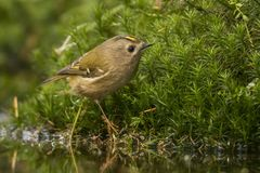 Goldcrest, regulus de Regulus Le plus petit oiseau chanteur en Europe image stock