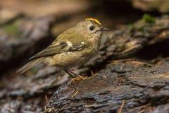 Goldcrest, regulus de Regulus Le plus petit oiseau chanteur en Europe images libres de droits