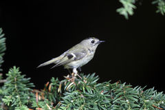 Goldcrest, regulus de Regulus photos stock