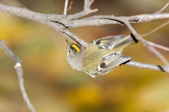 Goldcrest (regulus de Regulus) photos stock
