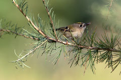 Goldcrest, Regulus regulus Stock Images