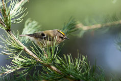 Goldcrest, Regulus regulus Royalty Free Stock Photography