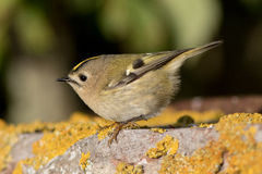 Goldcrest. (Regulus regulus) in the autumn on Island Öland, Sweden Royalty Free Stock Photo