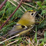 Goldcrest. Regulus regulus on autumn migration at Ottenby, Oland Island, Southern Sweden Stock Photos