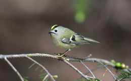 Goldcrest, Regulus regulus Royalty Free Stock Photos