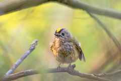 Goldcrest & x28;Regulus regulus& x29; ruffling feathers. Britain& x27;s smallest bird, in the family Sylviidae, wet after splashing in stream Royalty Free Stock Photos