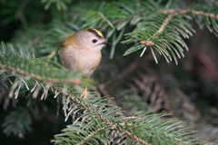 Goldcrest Royalty Free Stock Image