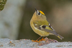 Goldcrest on the rock Royalty Free Stock Images
