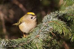Goldcrest Royalty Free Stock Photos