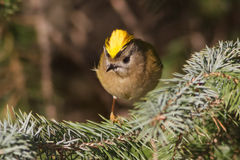 Goldcrest Stock Images