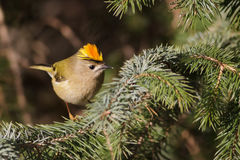 Goldcrest royalty free stock images