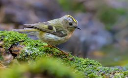 Goldcrest sits on mossy snag near a waterpond royalty free stock image