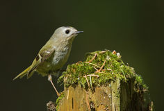 Goldcrest Stock Photography