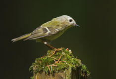 Goldcrest. Sitting on the stump Stock Image