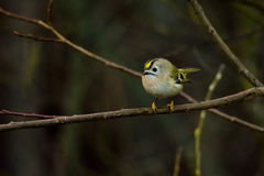 Goldcrest Stock Image