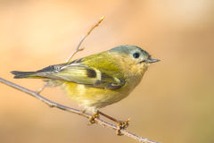 Goldcrest in spring forest Royalty Free Stock Photos