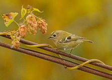 Goldcrest sur le fil Images stock