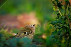 Goldcrest sur une pelouse d'automne images stock